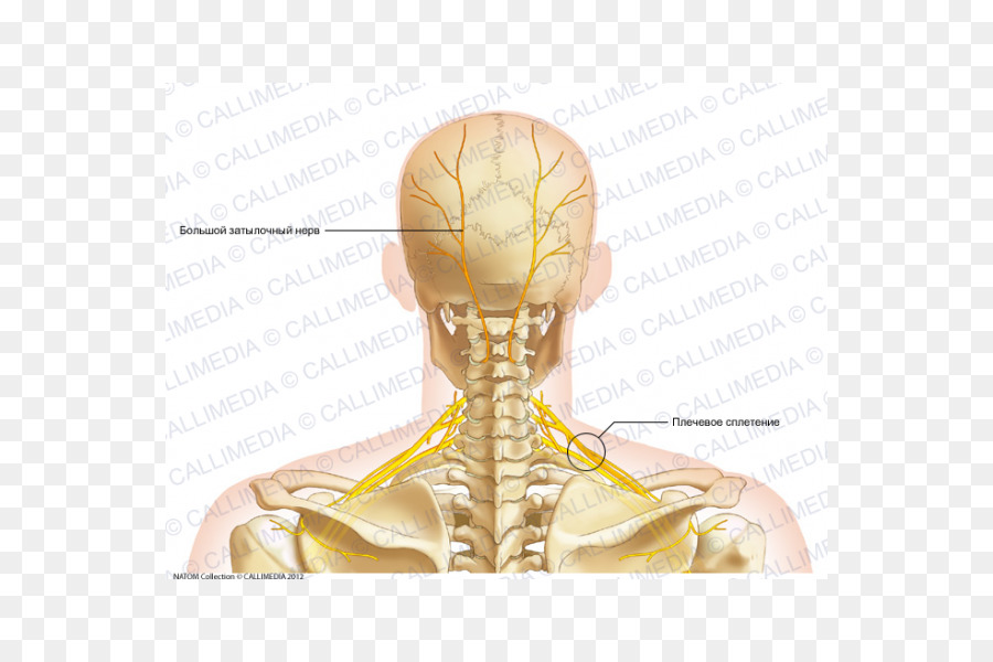 Neck Bone Human anatomy Head - skull png download - 600*600 - Free ...