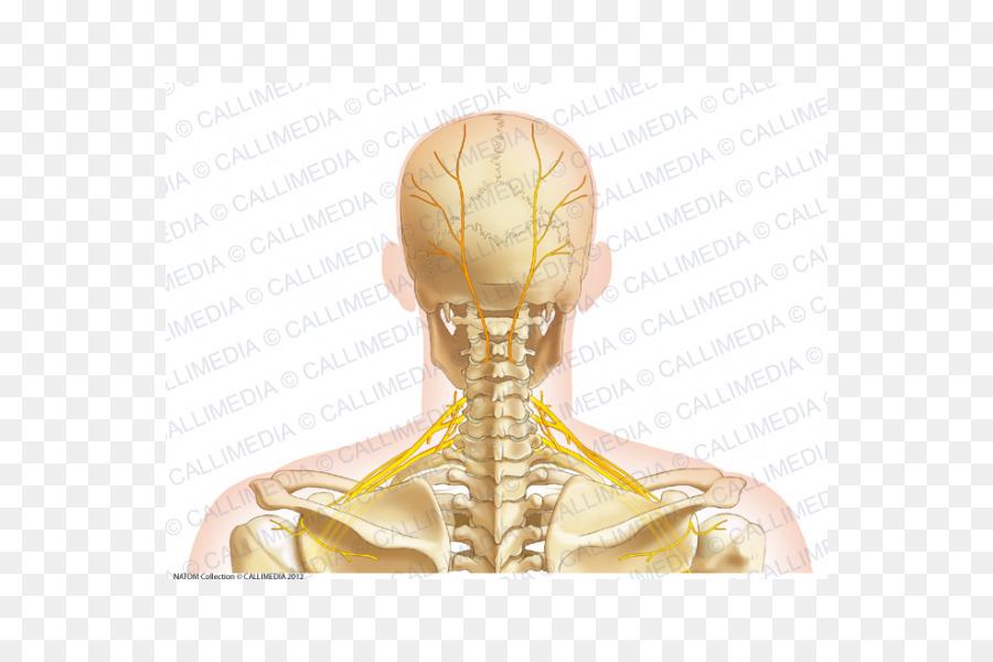 Neck Bone Human Anatomy Head Skull Png 600600