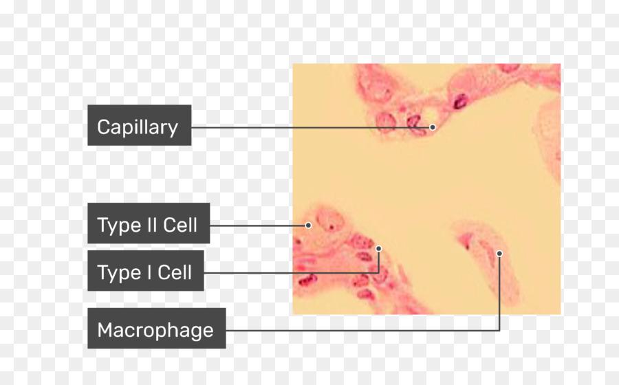 Los macrófagos alveolares Pulmonares alvéolos del Pulmón de la ...