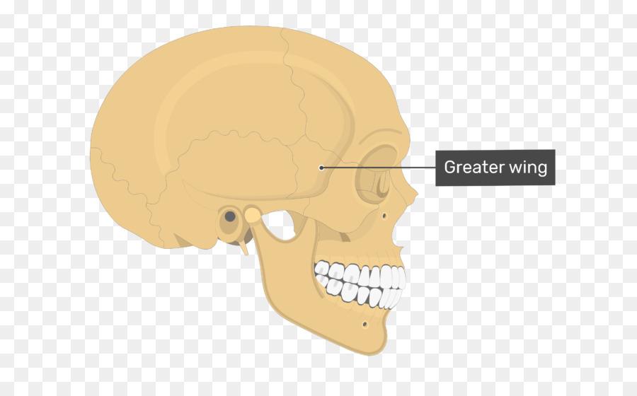 Hueso Parietal del Cráneo Anatomía de la línea Temporal - bien ...
