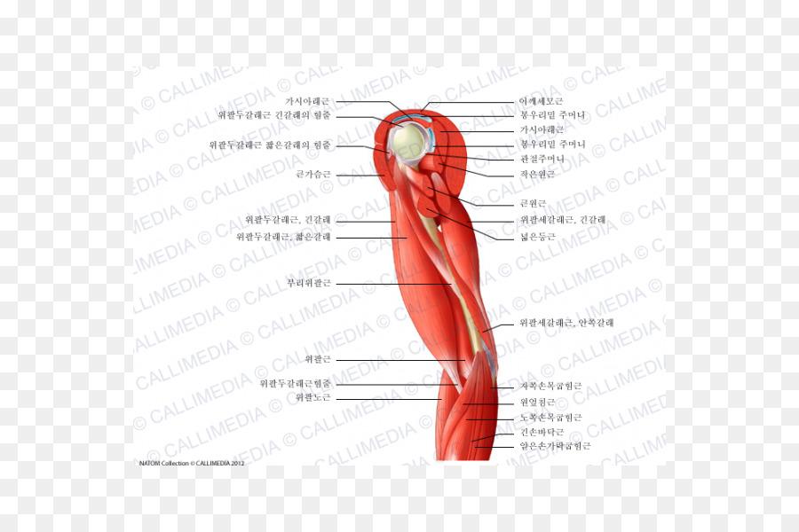 Pulgar Músculo del Hombro de los Nervios de los vasos Sanguíneos ...