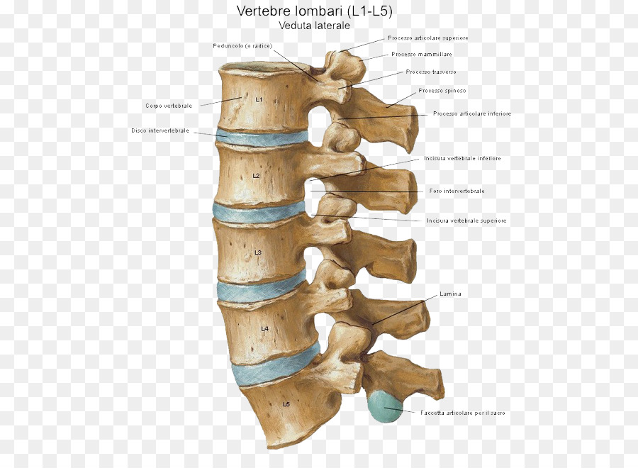 Intervertebral disc Vertebral column Sacroiliac joint - EA SPORT png ...