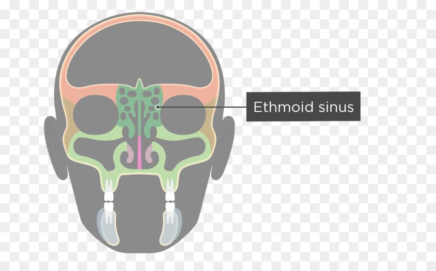 Ethmoid sinus Ethmoid bone Paranasal sinuses Maxilla - skull png ...