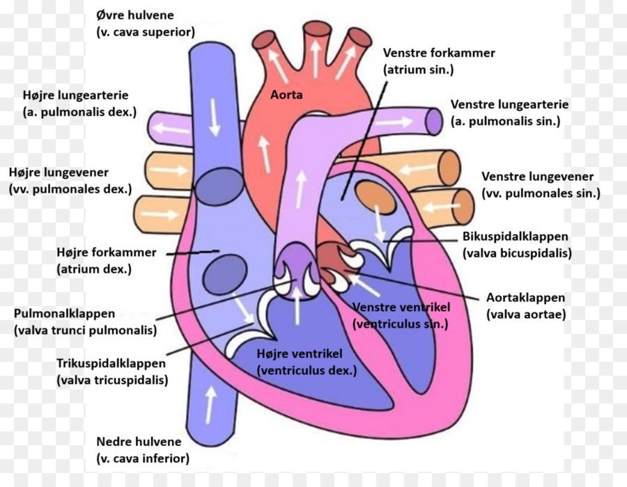 Corazón Diagrama de la Anatomía del Ventrículo sistema Circulatorio ...