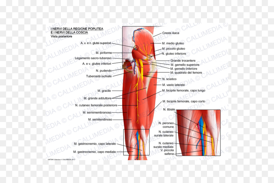 Nerve Knee Muscle Popliteal fossa Popliteal artery - Popliteal ...