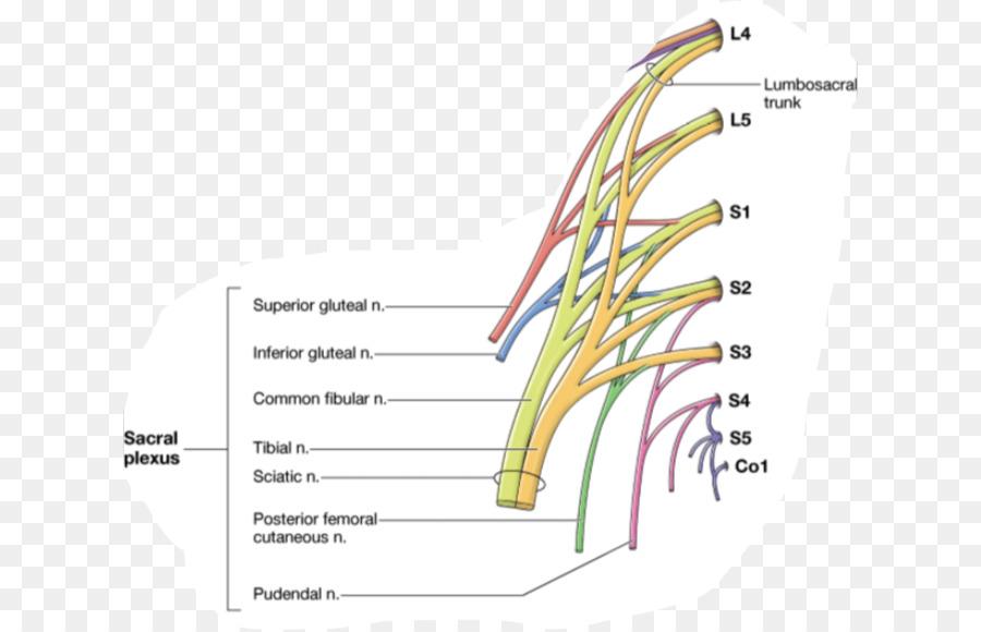 Gray Anatomía del nervio Subcostal anatomía Humana - La Arteria ...