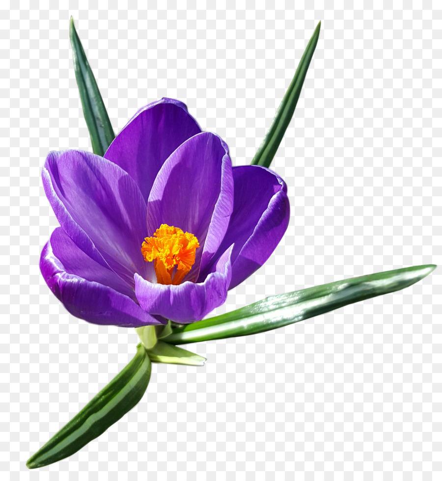 Crocus Vernus Snow Crocus Clip Art Spring Flowers Png Download