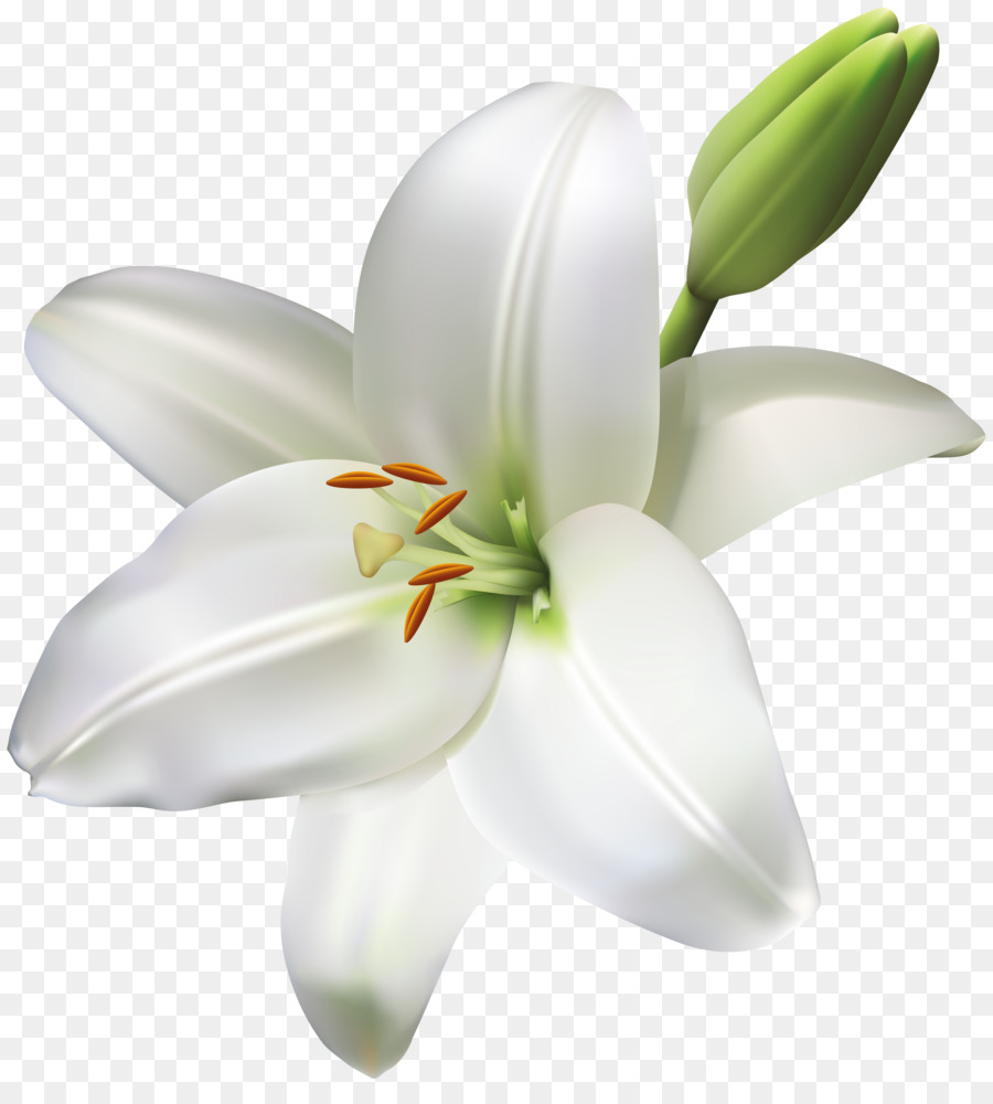 Madonna Lily Cut Flowers Easter Lily Flower Png Download 7318