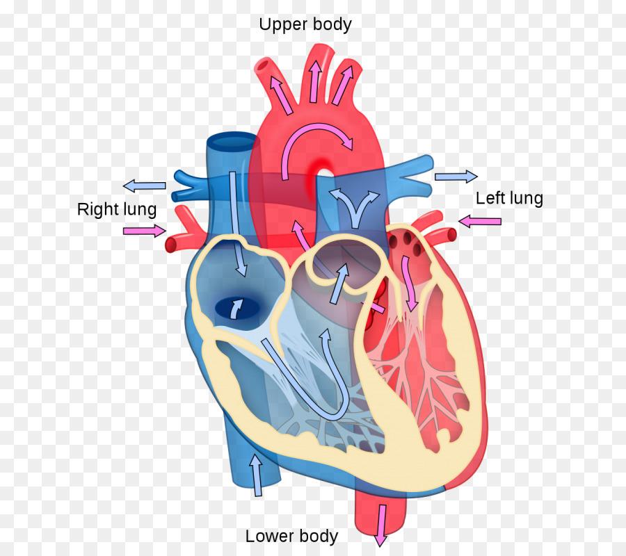 Corazón Diagrama de la Anatomía del cuerpo Humano sistema ...