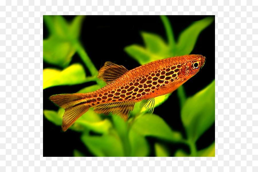 Koi Zebrafish Aquariums Freshwater Fish Fish Png Download 600