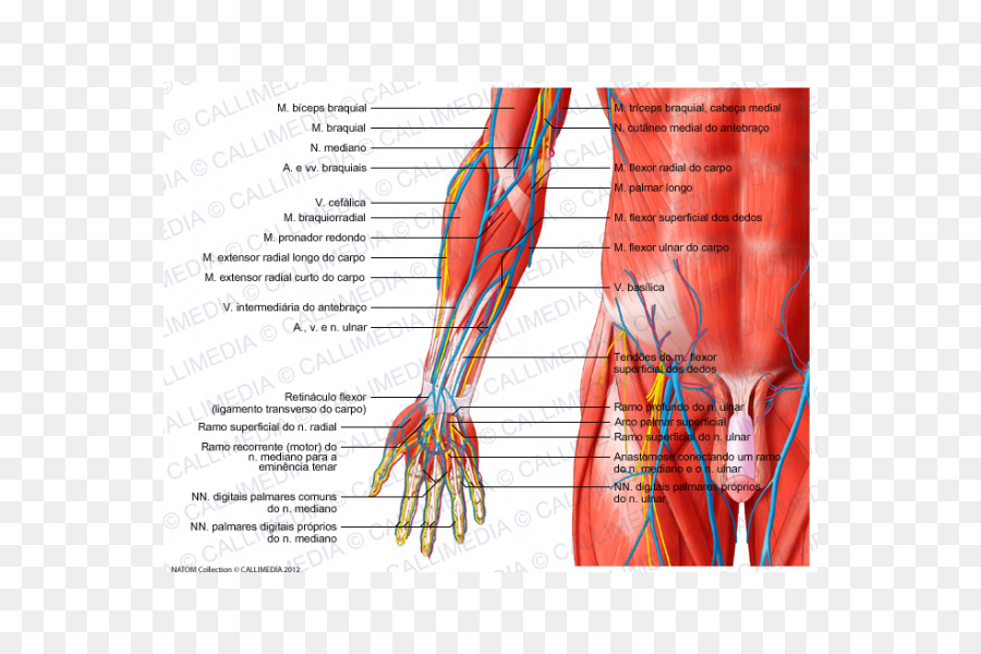 Anterior Compartment Of The Forearm Muscle Anatomy Elbow Hand Png