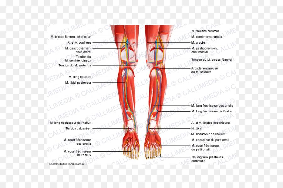 Tibial posterior del músculo Peroneus largo anterior del músculo ...