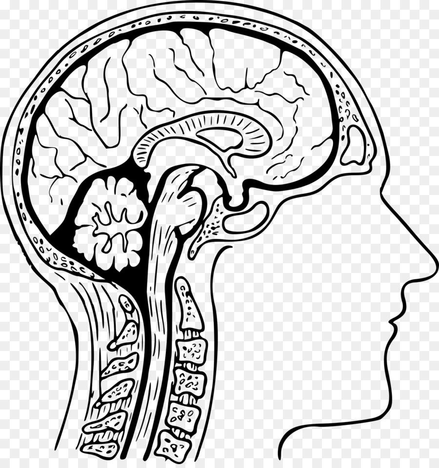 Human head Brain Head and neck anatomy Human body - Brain png ...