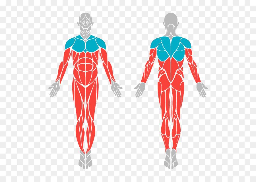 Human body skeleton and muscles human anatomy knee gym 608 png human body skeleton and muscles human anatomy knee gym 608 ccuart Choice Image