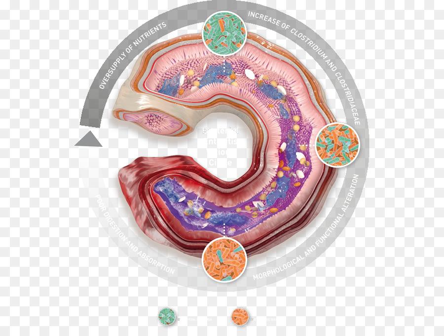 Broiler Gastrointestinal tract Ear Health Organism - ear png