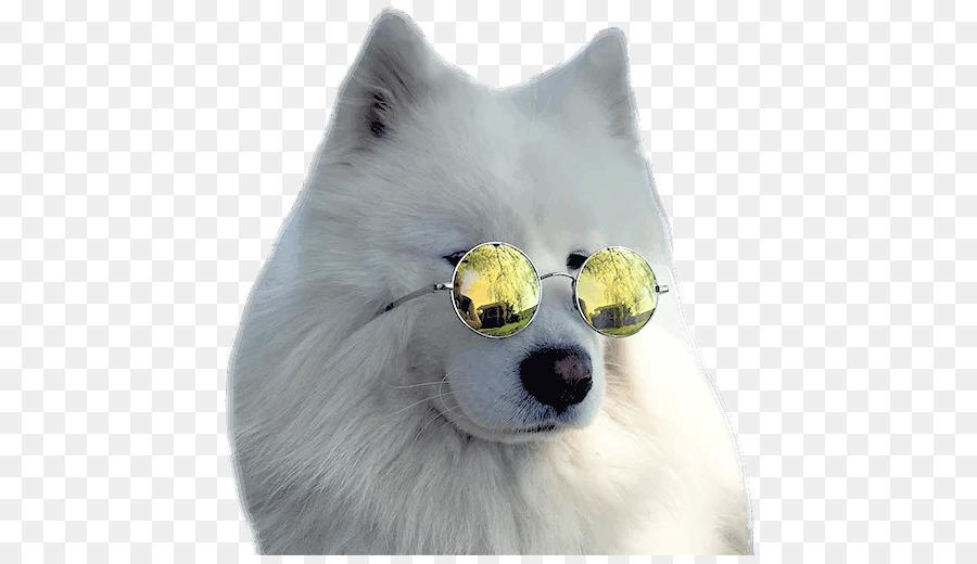 American Eskimo Dog Japanese Spitz Pomeranian Samoyed Dog Dog Breed