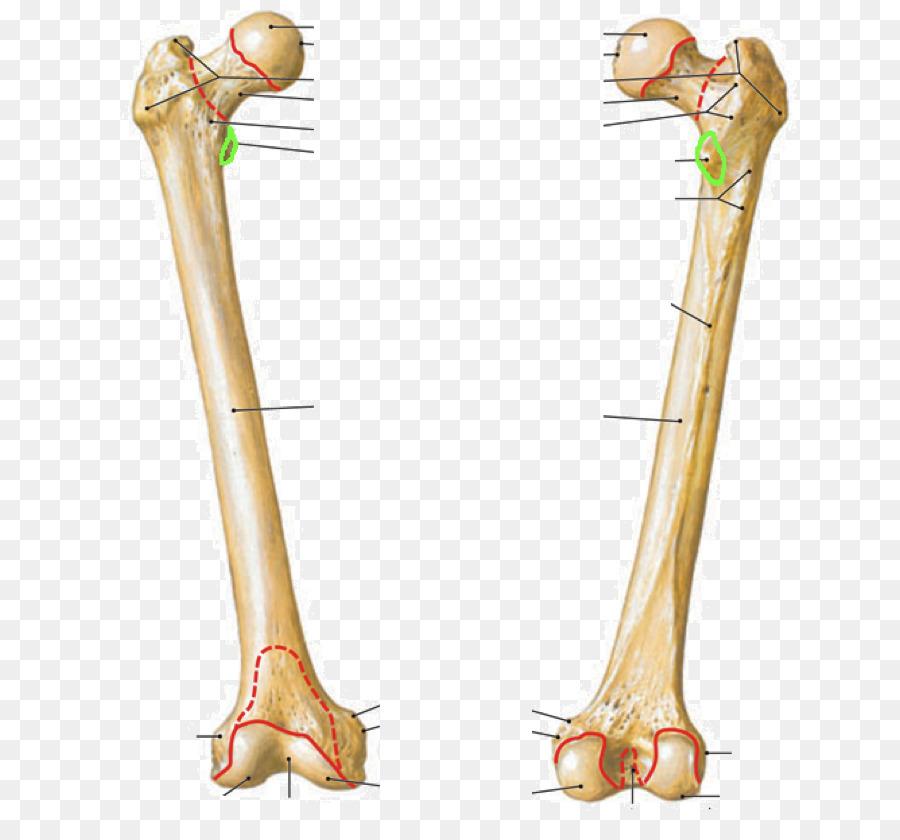 Atlas der Anatomie des Menschen Femur Trochanteric fossa Anatomy ...