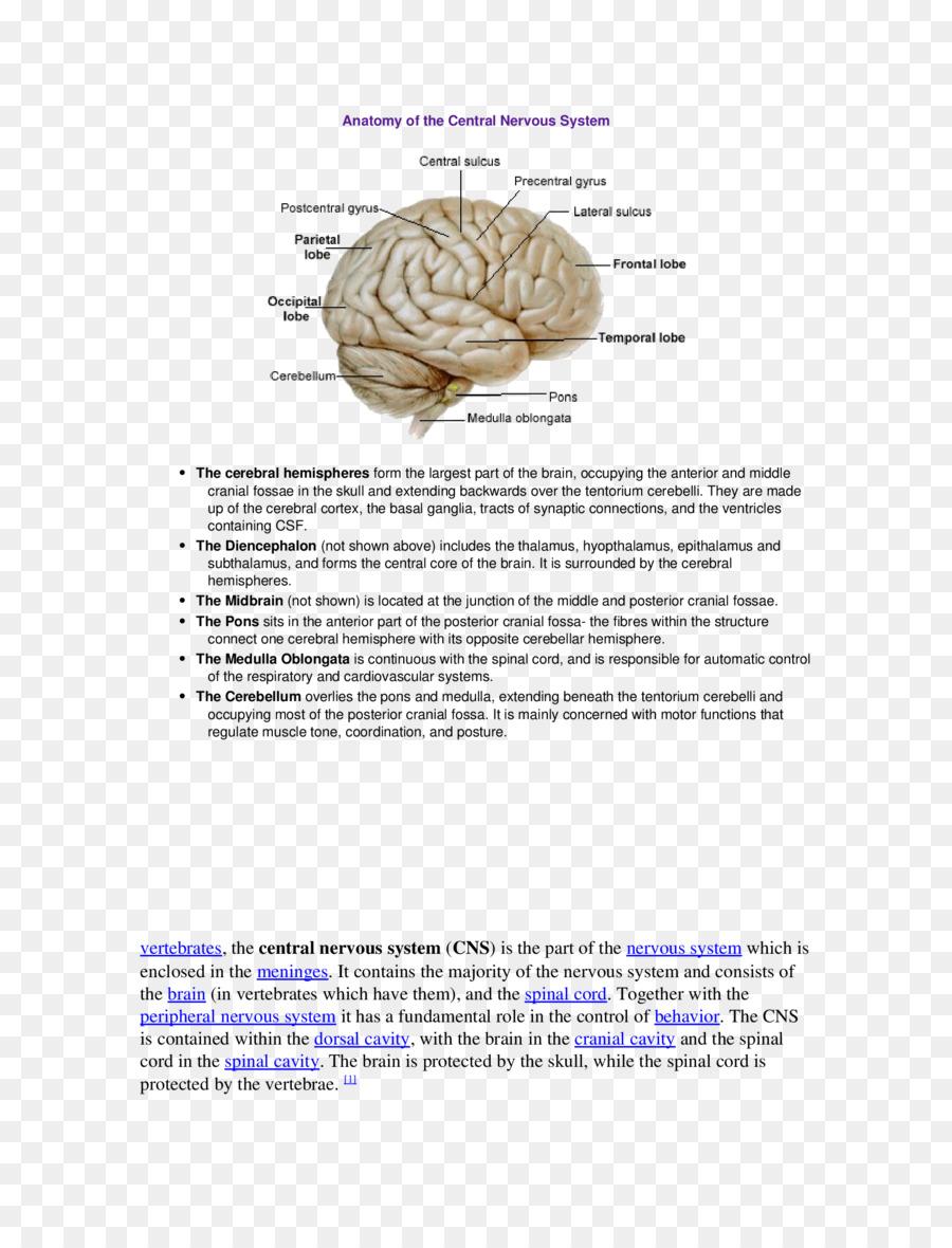 Brain Middle cerebral artery Cerebral arteries Cerebral cortex ...