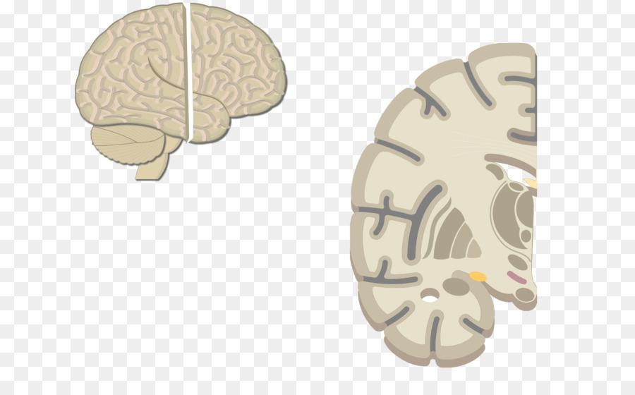 Multipolar de la neurona del Cerebro de la neurona Motora de células ...
