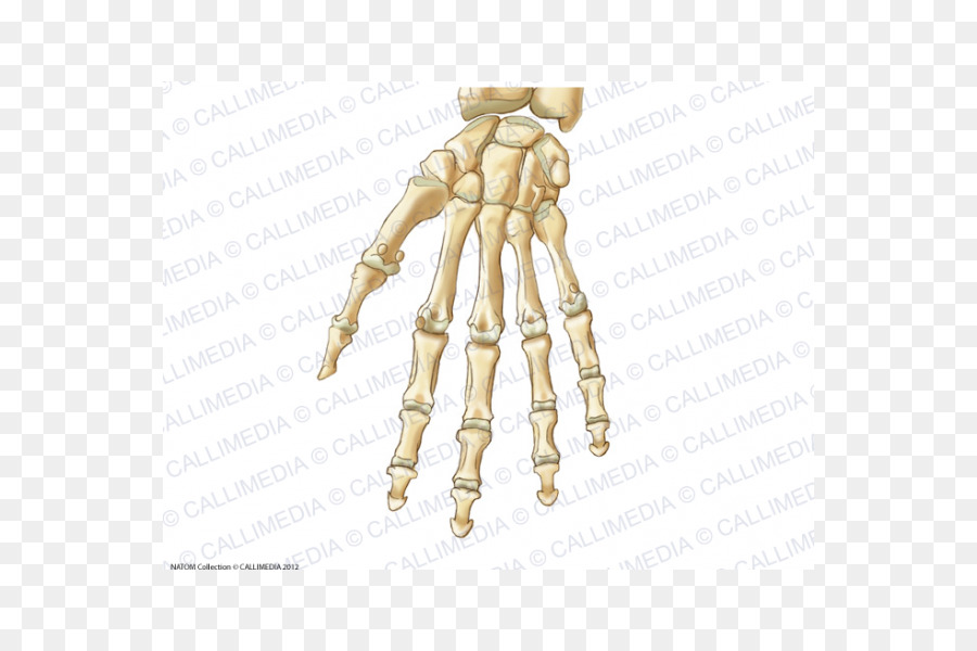 Thumb Carpal Bones Hand Anatomy Ligament Hand Png Download 600