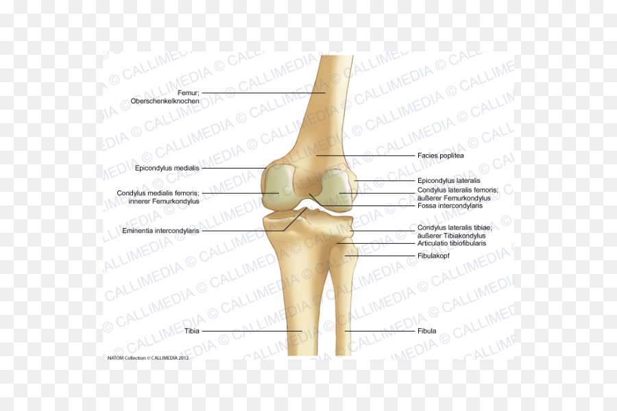 Thumb Knee Bone Lateral Epicondyle Of The Femur Anatomy Others Png