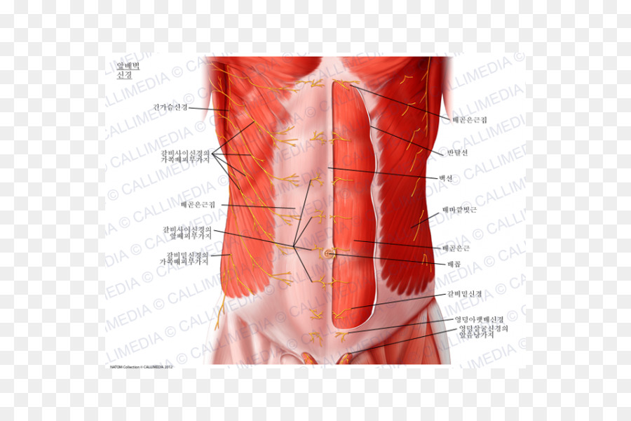 Abdominal Wall Abdominal External Oblique Muscle Subcostal Nerve