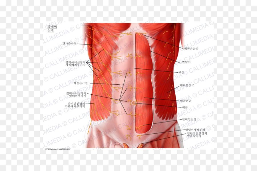 De la pared Abdominal Abdominal oblicuo externo del músculo nervio ...