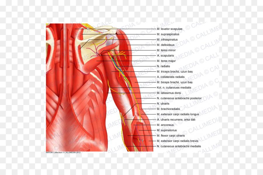 Envoltura anterior del músculo Envoltura posterior de la musculatura ...