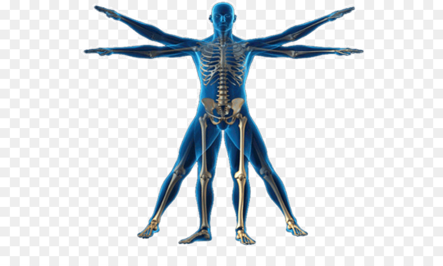 Vitruvian Man Human Body Anatomy Homo Sapiens Physical Body