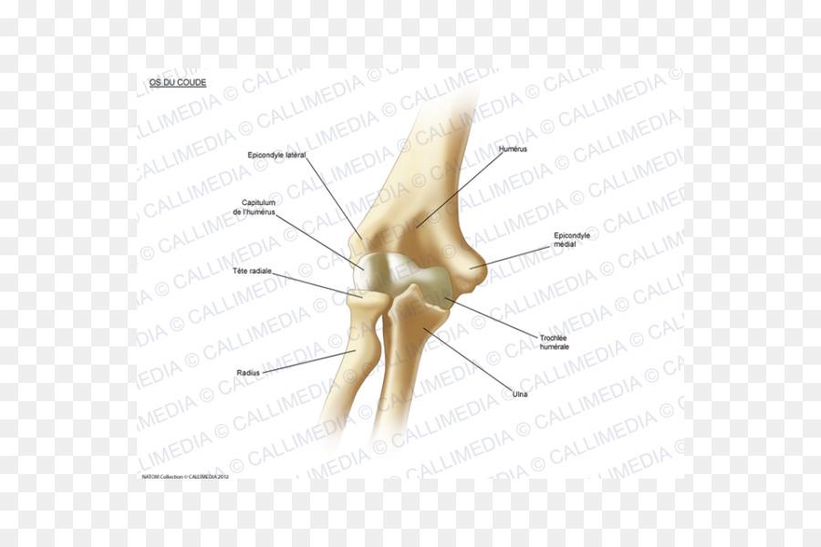 Thumb Elbow Bone Human Anatomy Appareil Digestif Png Download