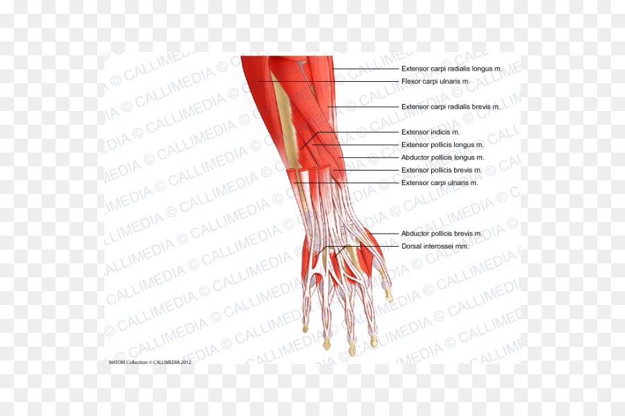 Thumb Forearm Muscle Anatomy Wrist - hand png download - 600*600 ...