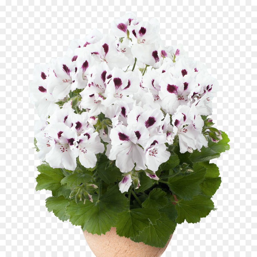 Regal Pelargonium White Flower Cranes Bill Color Flower 10001000