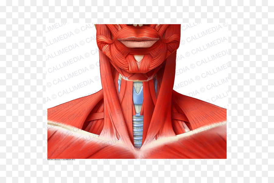 Muscle Anterior triangle of the neck Blood vessel Anatomy - others ...