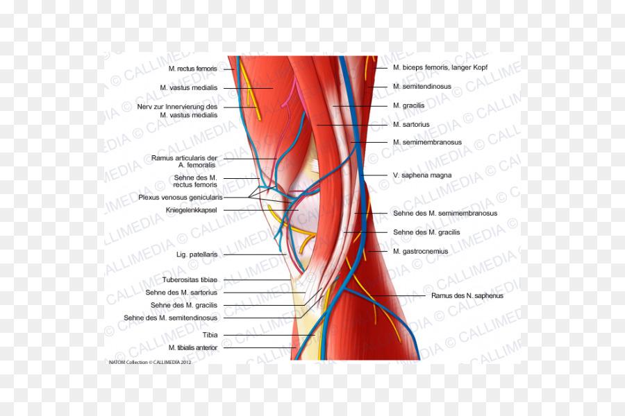 Nervio del Músculo Medial de la rodilla lesiones de la anatomía ...