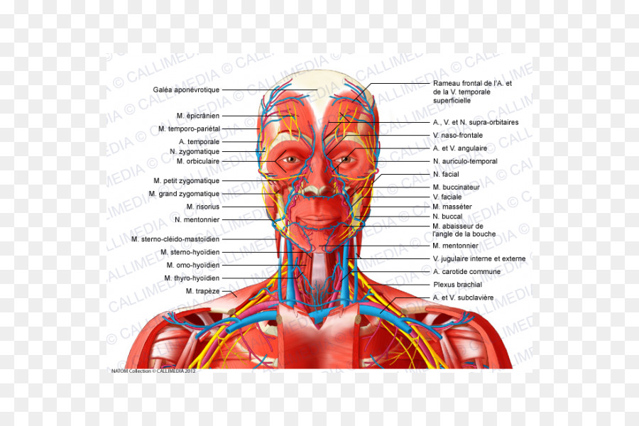 Head and neck anatomy Anterior triangle of the neck Muscle Human ...