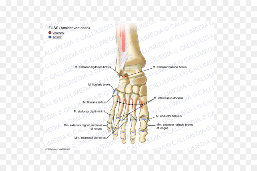Thumb Muscle Foot Ankle Anatomy Anatomy Of The Human Body Png
