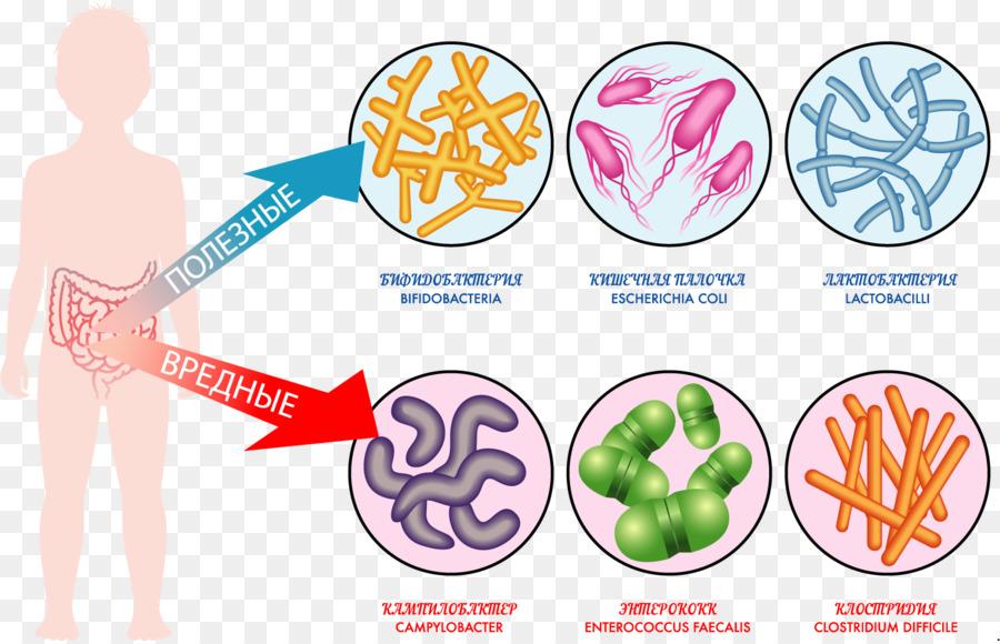 Gut Flora Gastrointestinal Tract Microbiota Bacteria