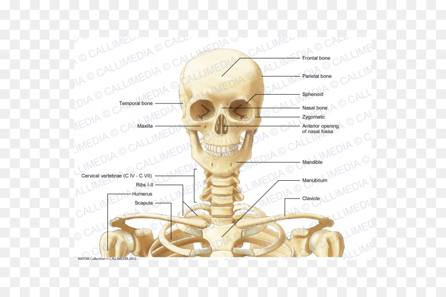 Anterior Triangle Of The Neck Bone Anatomy Human Skeleton Skull