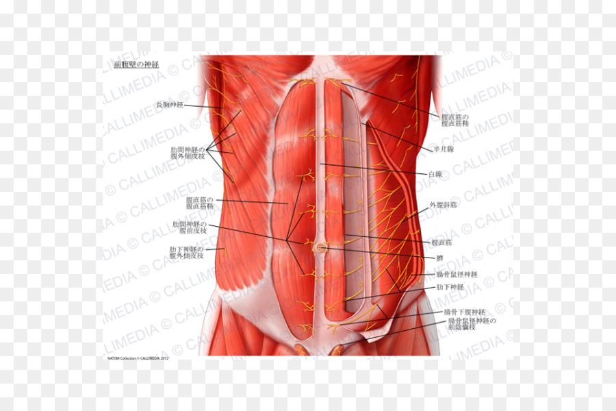 Abdominal wall Rectus abdominis muscle Abdomen Transverse abdominal ...