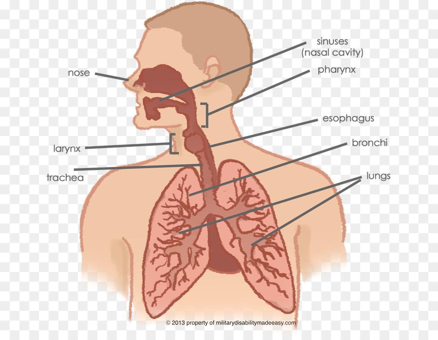 Sistema respiratorio Pulmonar tracto Respiratorio el cuerpo Humano ...