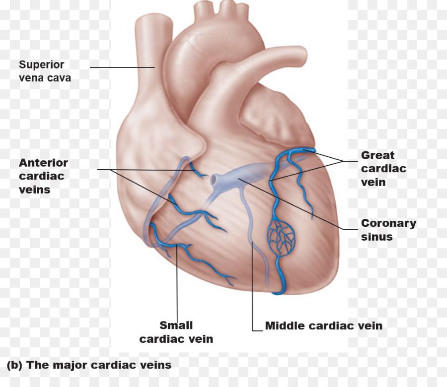 Circulación coronaria seno Coronario arterias Coronarias Gran vena ...