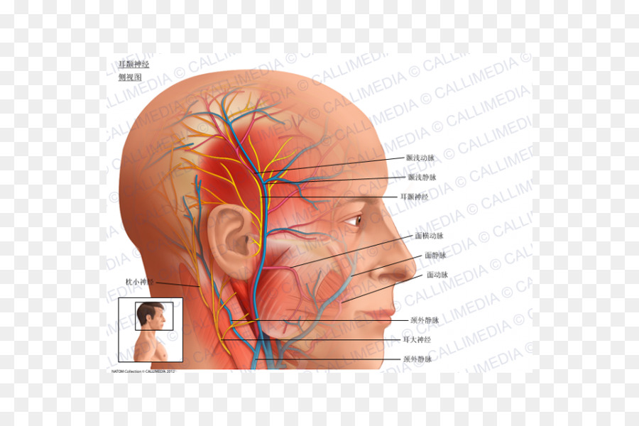 El nervio Auriculotemporal la arteria temporal Superficial Anatomía ...
