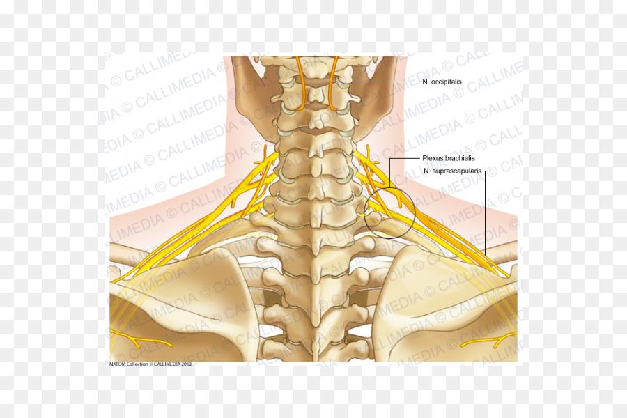 Dedo Del Nervio Hueso De Los Músculos Del Cuello - otros png dibujo ...