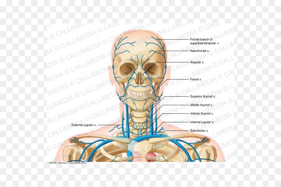 Internal jugular vein Head and neck anatomy - Superficial Temporal ...