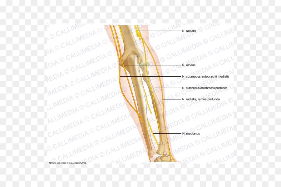 Pulgar Codo nervio cutáneo Medial del antebrazo - Nervio Mediano ...