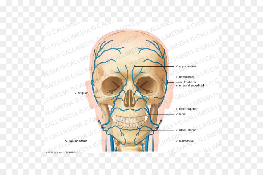 Anterior de la vena yugular de Cabeza y cuello anatomía de la ...