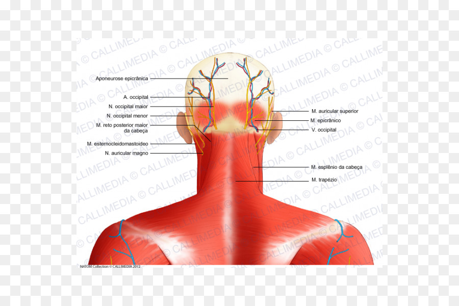 Head And Neck Anatomy Nerve Muscle Occipital Bone Posterior