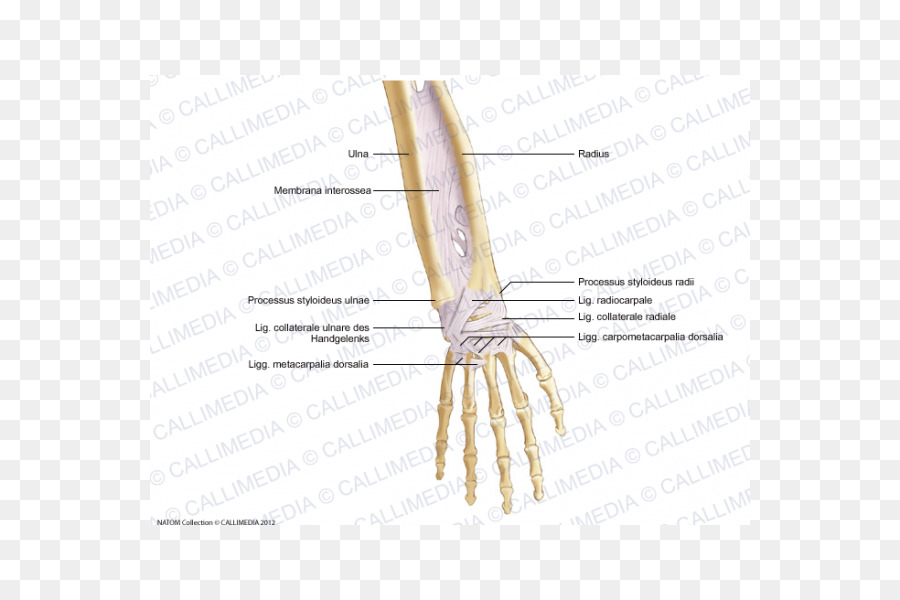 Thumb Bone Forearm Ligament Anatomy - hand png download - 600*600 ...