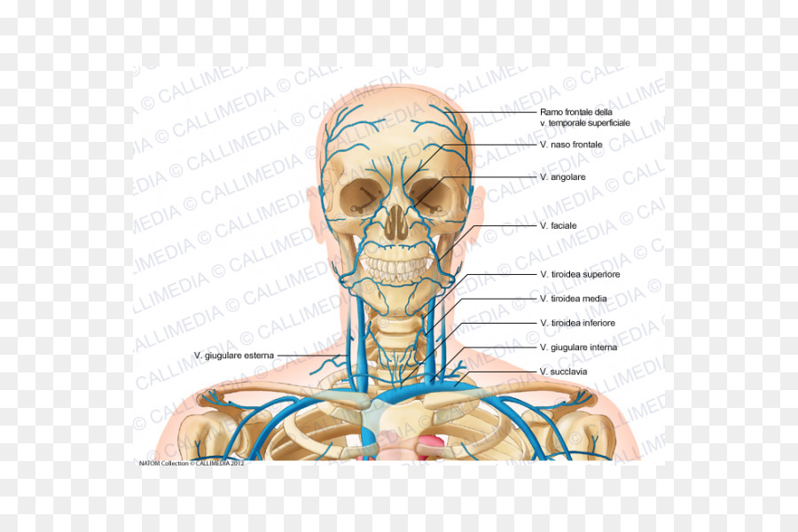 Internal Jugular Vein Head And Neck Anatomy Superficial Temporal