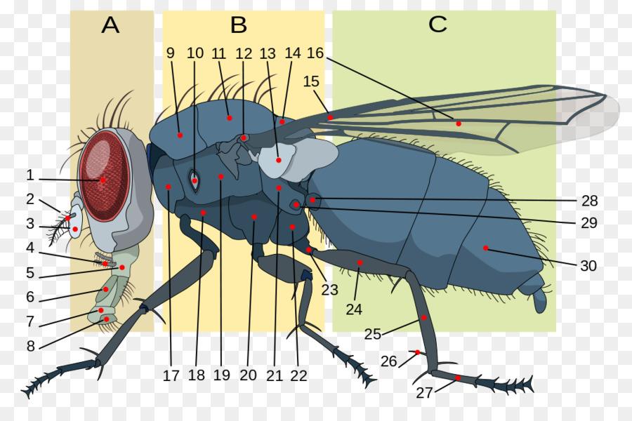 La morfología de los insectos Mosca Anatomía Brachycera - los ...